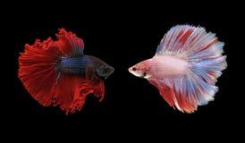 Рыбы Betta, сиамские воюя рыбы изолированные на черноте Стоковая Фотография