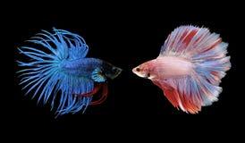 Рыбы Betta, сиамские воюя рыбы изолированные на черноте Стоковые Фотографии RF