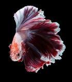 Рыбы Betta, сиамские воюя рыбы Стоковое фото RF