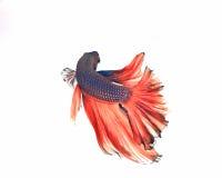 Рыбы Betta Стоковое фото RF