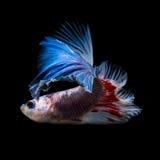 Рыбы Betta Стоковое Фото