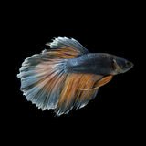 Рыбы Betta Стоковые Фотографии RF