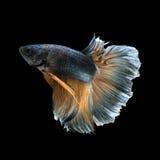 Рыбы Betta Стоковые Фото