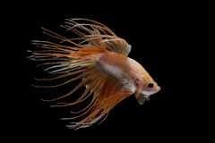 Рыбы betta Crowntail Стоковое фото RF