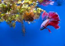Рыбы Betta (splendens Betta) Стоковое Изображение