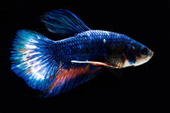 Рыбы bg чернят Стоковое Изображение RF