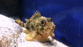 Рыбы Blenny в аквариуме видеоматериал