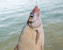 рыбы brama abramis пресноводные Стоковые Фотографии RF