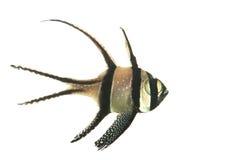 рыбы cardinal bangaii Стоковые Изображения RF