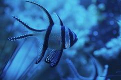 рыбы cardinal banggai Стоковое Изображение