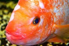Рыбы Cichlasma Стоковое Изображение RF