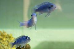 Рыбы cichlid Socolofi Стоковое Изображение RF