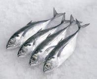 рыбы cincaru Стоковая Фотография