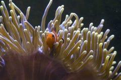 Рыбы Clow Стоковая Фотография