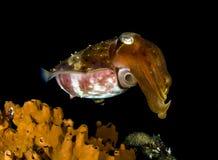 Рыбы Cuttle Стоковое Изображение RF