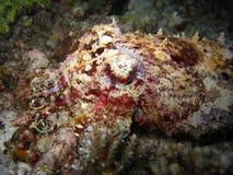 рыбы cuttle Стоковые Изображения