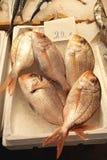 Рыбы Dentex Стоковая Фотография