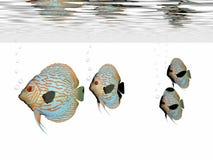 рыбы discus Стоковые Изображения RF