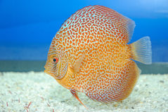 рыбы discus Стоковое фото RF