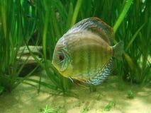 Рыбы Discus стоковое фото
