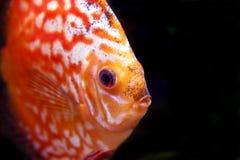 рыбы discus стоковое изображение rf