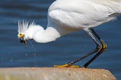 рыбы egret большие Стоковые Фотографии RF