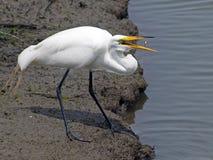 рыбы egret большие Стоковая Фотография RF
