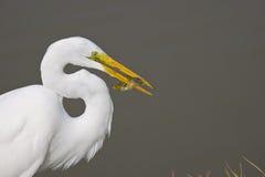 рыбы egret клюва большие его Стоковые Фото