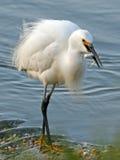 рыбы egret снежные стоковые фотографии rf