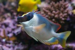 Рыбы Foxface Стоковая Фотография RF