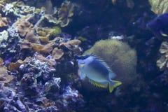 Рыбы Foxface Стоковое Изображение RF