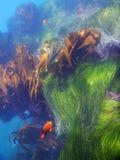 Рыбы Garibaldi пляжа Laguna Стоковое Изображение RF