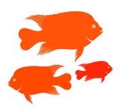 Рыбы Garibaldi Стоковая Фотография