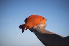 Рыбы Garibaldi Стоковые Изображения