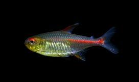 Рыбы Glowlight Tetra Стоковые Изображения