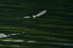 Рыбы jumpping Стоковая Фотография