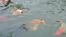 Рыбы Koi в пруде видеоматериал
