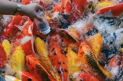 Рыбы Koi в пруде плавая грациозно Стоковые Фотографии RF