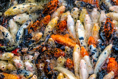 Рыбы Koi в пруде/реке Стоковое Изображение
