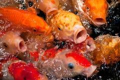 рыбы koy Стоковые Изображения