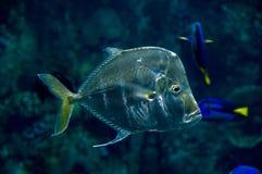 рыбы lookdown Стоковая Фотография RF