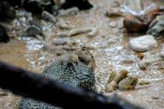 Рыбы mudskipper мангровы на утесе Стоковые Фото
