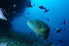 Рыбы Napolean Стоковая Фотография RF