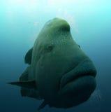 рыбы napoleon Стоковое фото RF