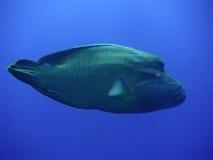 рыбы napoleon Стоковое Изображение
