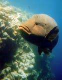 рыбы napoleon Стоковые Изображения
