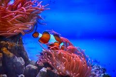 Рыбы Nemo в аквариуме с коралловым рифом Стоковая Фотография