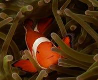 Рыбы Nemo или рыбы клоуна в актинии Стоковые Изображения RF