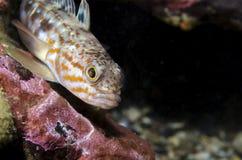 Рыбы Nothothenid Стоковое фото RF