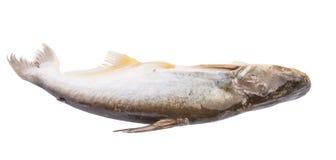 Рыбы Pangasius Sutchi IV Стоковое Изображение RF